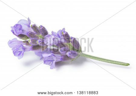 Blossoming Lavender (lavandula), Clipping Paths