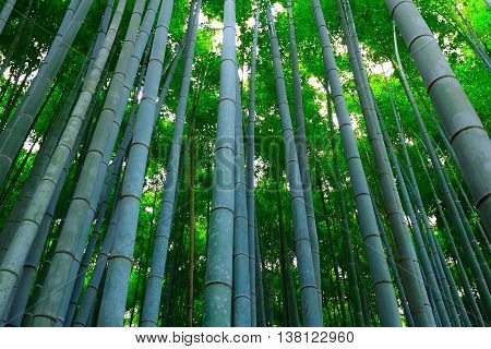 Bamboo forest at bamboo grove Kyoto , Japan