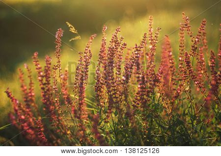 Wildflowers At Sunset.  Field With Wild Flowers. Small Purple  W
