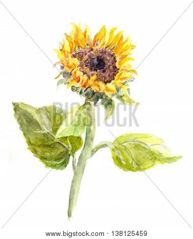 Watercolor hand painted sunflower flower. Watercolor illustration