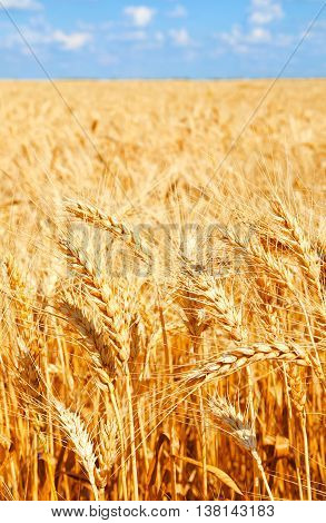 Background of wheat field with ripening golden ears and blue sky closeup
