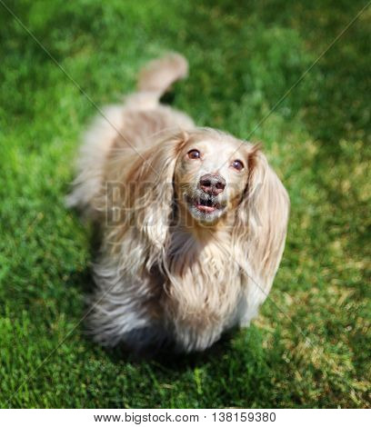 selective focus on the nose of a miniature long haired dachshund with isabella coloring sitting in the grass in a local park