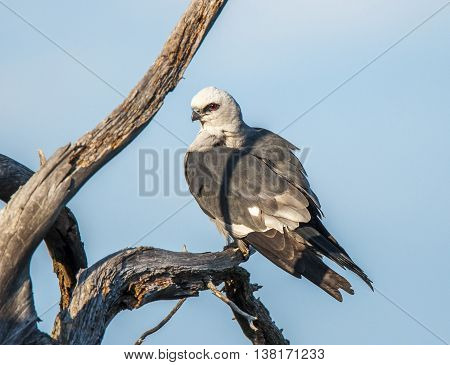 A beautiful bird of prey called a Mississippi Kite perches in a twisted dead tree in an Oklahoma nature preserve.