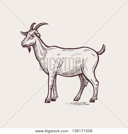 Vector illustration - domesticated animals. Graphics handmade drawing. Vintage engraving style. A series of farm animals. Nature - Sketch. Isolated goat image on a white background.