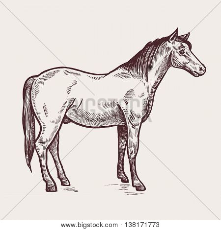 Horse. A series of farm animals. Graphics, handmade drawing. Vintage engraving style. Nature. Sketch. Isolated image on a white background. Vector illustration
