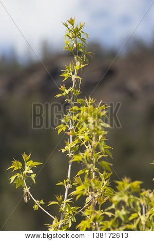 first leaves of maple, spring, leaves bloom, with mountain on background