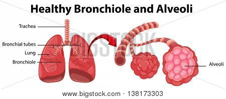 Diagram showing healthy bronchiole and alveoli illustration