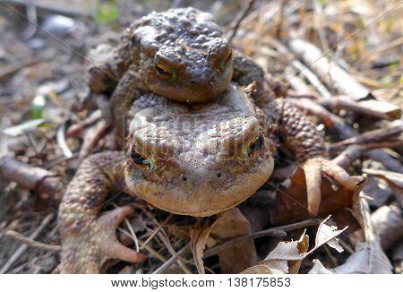 Frog - Toad - Bufo Bufo - copulating