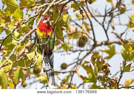 Colorful Eastern Rosella bird perching on Sweet Gum tree branch during Autumn in South Australia