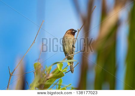 Scaly-breasted Munia bird in brown color with marking on breast and belly perching on branch in Thailand (Lonchura punctulata)
