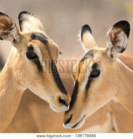 Portrait Of Two Blackfaced Impala