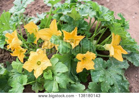 Zucchini plant with lot of yellow blossoms