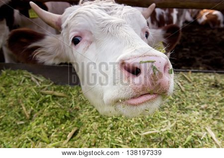 Funny cow looking to a camera. Close-up of a cow 's head