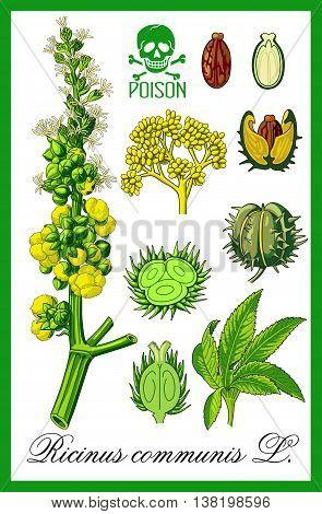 Ricinus communis herbal plant illustration art vector.