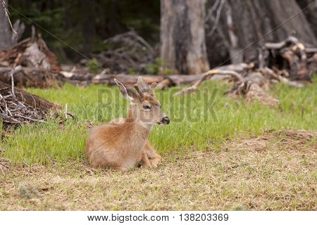 Male black tailed deer laying in grass on top of Hurricane Ridge in Washington.