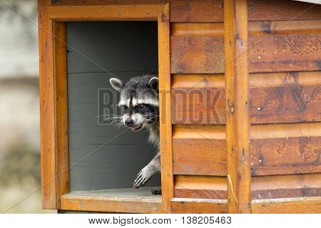 Raccoon bears its teeth while in feeding box along the seawall at westhaven cove in Westport Washington.