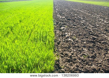 young wheat plants and black soil fields. Nature composition.