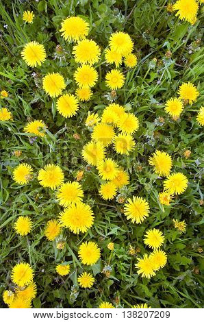 Yellow dandelions on green grass, the top view