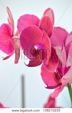 Hot Pink Moth Orchid Against White