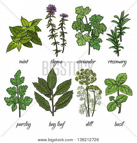 Set of cooking herbs - rosemary, mint, thyme, coriander, parsley, dill, bay leaf and basil. Isolated sketch style vector illustration on white background. Traditional herbs for cooking delicious food