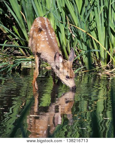 a cute baby deer with spots on its fur taking a drink of water in a pond in a local wildlife sanctuary park with a pretty reflection