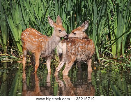 twin fawns nuzzling each other in a pond surrounded by reeds at a local wildlife sanctuary park