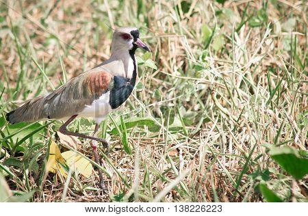 Vanellus chilensis bird walking on fading grass