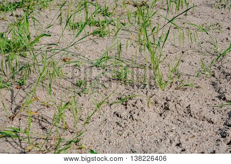 sand grass in early summer in Germany