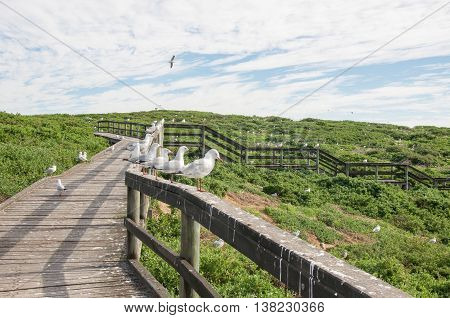 Pedestrian wooden walkway with railing covered with sea gulls and coastal dunes at Penguin Island under a blue sky with clouds in Rockingham, Western Australia.