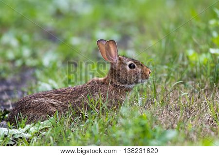 Adorable Eastern Cottontail (Sylvilagus Floridanus) rabbit, a member of the Leporidae family, is in a defensive stance among green grasses at Wallkill National Wildlife Refuge, New Jersey