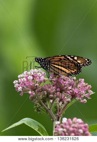 Monarch Butterfly (Danaus Plexippus), a member of the Nymphalidae family is perched down low on Milkweed flower, portrait