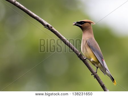 Beautiful Cedar Waxwing male (Bombycilla Cedrorum), a member of the Bombycillidae family, is perched on a single branch