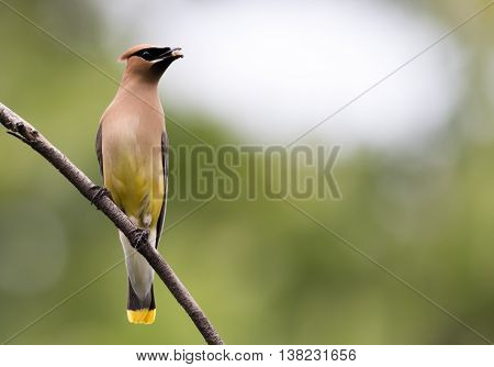 Beautiful Cedar Waxwing male (Bombycilla Cedrorum), a member of the Bombycillidae family, is perched on a single branch looking right