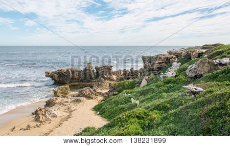 Limestone outcroppings, vegetated dunes, remote beach and nesting sea gulls under a blue sky with clouds at Penguin Island in Rockingham, Western Australia.