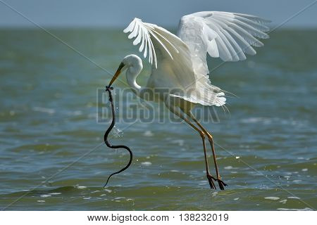 big white egret stealing fish from snake's mouth (ardea alba) poster