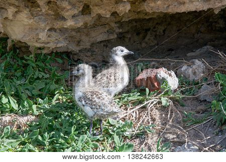 Two brown and white speckled baby sea gulls with native flora under natural coastal limestone on Penguin Island in Rockingham, Western Australia.