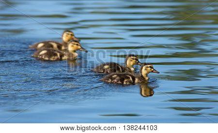 Four Mallard ducklings swimming on the lake.