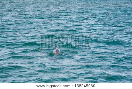 Wild dolphin swimming in the Indian Ocean off of Penguin Island in Rockingham, Western Australia.