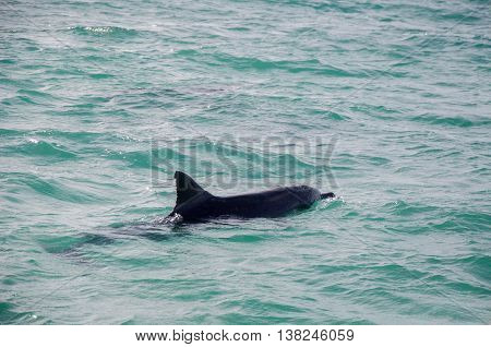 Wild dolphin swimming on the surface of the Indian Ocean waters off of Penguin Island in Rockingham, Western Australia.