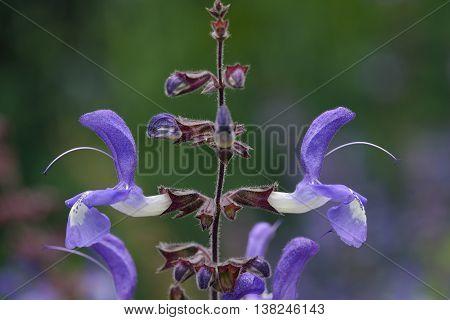 Indigo Woodland Sage - Salvia forsskaolei from Bulgaria Greece and Turkey