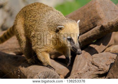 Portrait of ring-tailed coati (Nasua nasua) animal in natural environment