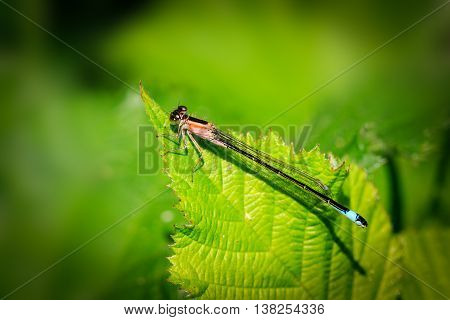 Damselfly perched on a leaf close up