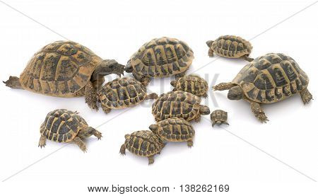 Hermanns Tortoise and baby turtles in studio