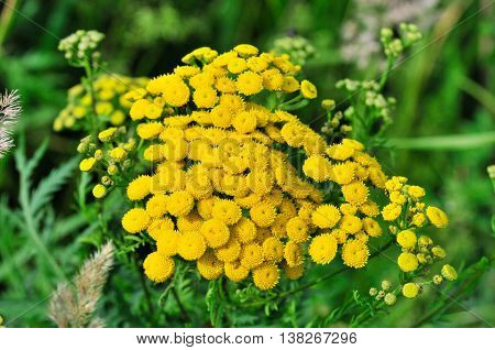 Tansy, Tanacetum  - a genus of perennial herbaceous plants and shrubs of the family Asteraceae or Compositae.