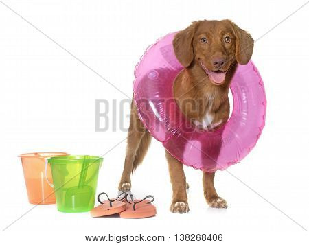 Nova Scotia Duck Tolling Retriever ready for beach in front of white background