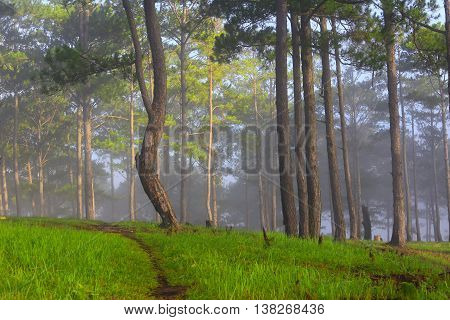 Pine forest in sunlight and mist, beautiful view from the top of mountain