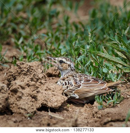 Woodlark On The Ground