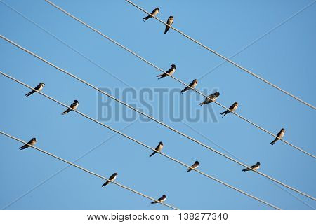 Barn Swallows Perched On Telephone Wires