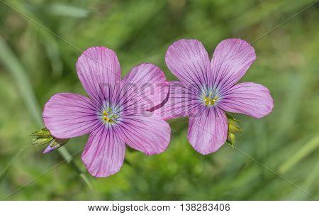 Linum Viscosum Flowers In The Meadow
