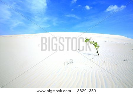 Alone tree in White Sand Dunes in Phan Thiet, Vietnam